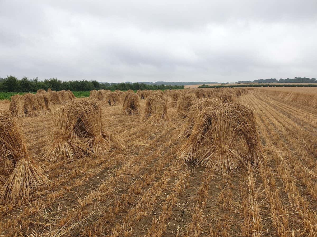 Straw for thatching (11)