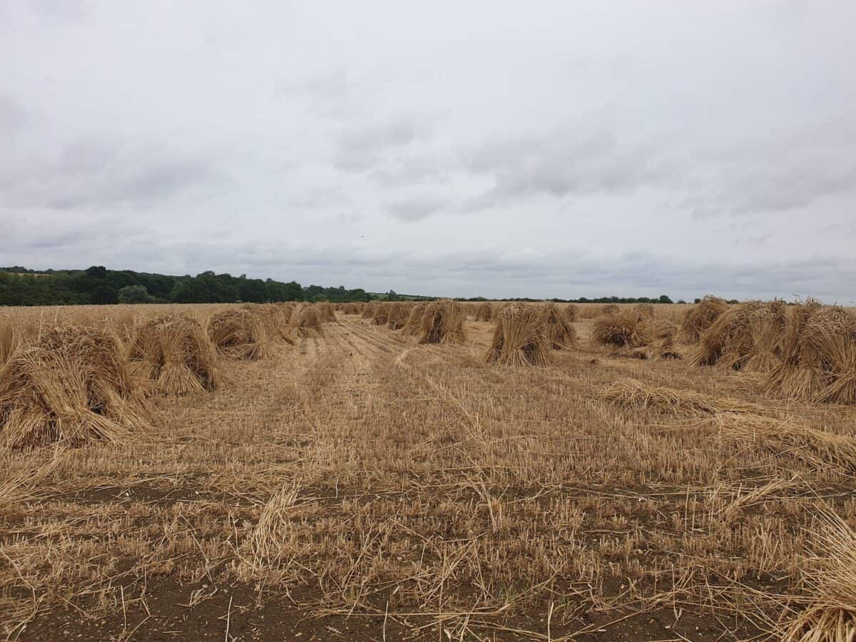 Straw for thatching (12)