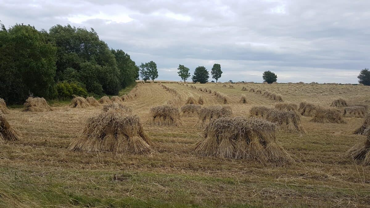 Straw for thatching (3)