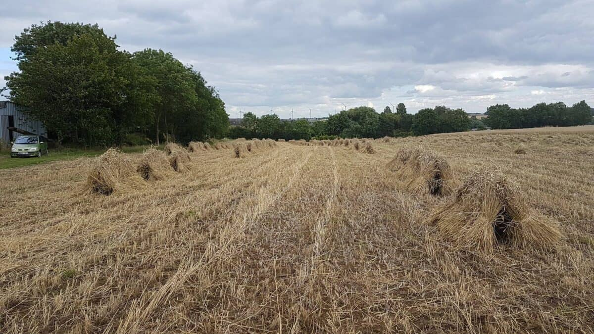 Straw for thatching (4)
